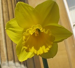 The Downing daffodil
