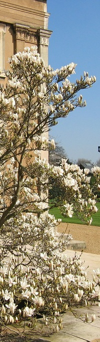 Magnolia outside the SCR